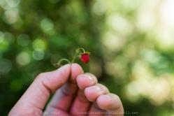 Fresa Silvestre